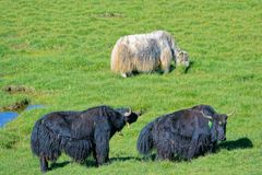 Yaks in grassland. Two black and one white yaks are pastured in grassland stock photography