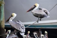 Two Black Pelicans Balancing Royalty Free Stock Image
