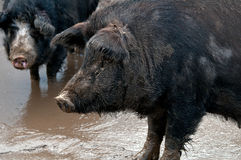 Two black pig Royalty Free Stock Photo
