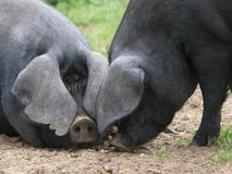 Two Black Pigs Royalty Free Stock Photo