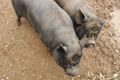 Two black pigs Stock Photos