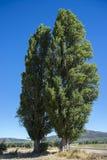 Two Black poplar, Populus nigra Stock Photo
