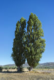 Two Black poplar, Populus nigra Stock Images