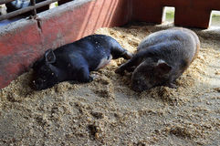 Two Black Pot Bellied Pigs Doze Off Together in the Afternoon. Two black pot-bellied pigs fall asleep together in their pen in the hottest part of the day. They stock photo