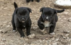 Two black puppies stock photo
