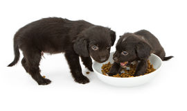 Two black puppies fighting over food Stock Photography