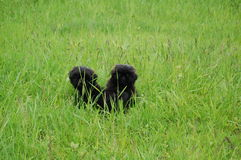 Two black puppy in nature, Royalty Free Stock Image