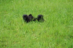 Two black puppy in nature,. Two black puppy on the nature of my model Royalty Free Stock Photography