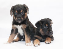 Two black puppy with red spots and white legs sit Royalty Free Stock Photos
