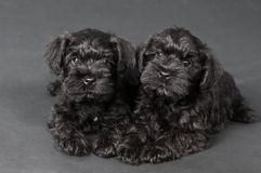 Two black puppy of zwergschnauzer Stock Photo