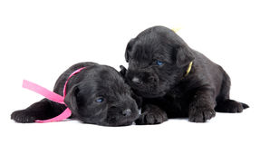 Two black puppys of Miniature Schnauzer stock photography