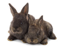Two black rabbits Stock Image