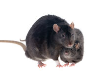Two black rats royalty free stock image