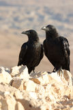Two black ravens. Blurry background Stock Photography