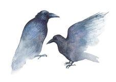 Two watercolor ravens  on white Stock Photos