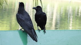 Two black ravens sitting togeter. stock video footage