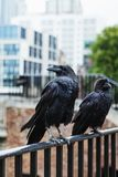 Two black ravens in the Tower of London, UK. Stock Photos
