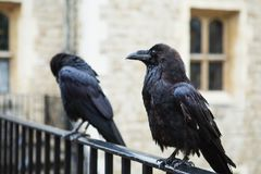 Two black ravens in the Tower of London, UK. Royalty Free Stock Photos