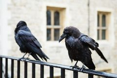 Two black ravens in the Tower of London, UK. Stock Photography