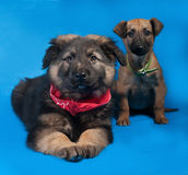 Two black and red shaggy puppy in red bandane lies on blue Stock Images