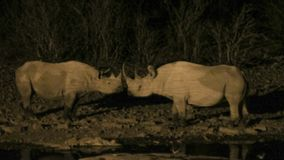 Two black rhinoceros at waterhole at night. Two black rhinoceros greet each other at waterhole in Nambia. The black rhinoceros are also known as the hook-lipped stock photography
