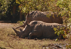 Two black rhinoceros Royalty Free Stock Photography