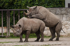 Two black rhinos. Two black (double horned) rhinos doing sex Stock Image