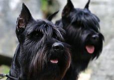 Two black Riesenschnauzer portraits Royalty Free Stock Photography