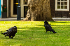 Two Black Royal Raven in the Tower of London. London, England. Black Royal Raven - one of the symbols of the Tower of London. The Tower of London is a historic Royalty Free Stock Images