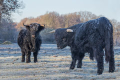 Two Black Scottish Highlanders In Frozen Meadow Royalty Free Stock Images