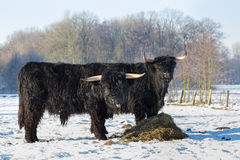 Two Black Scottish Highlanders In Winter Snow Stock Image
