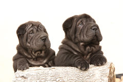 Two black sharpei puppies on white background Stock Photos