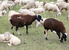 two sheep grazing and one is pregnant with the big belly Royalty Free Stock Photography