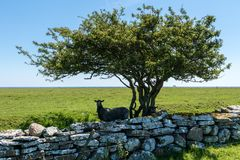 Two black sheep seeking shelter and shadow from the sunlight und. Two black sheep seeking shelter and shadow under an old tree and behind a stone wall on a Stock Photo