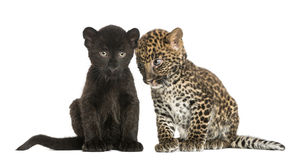 Two Black and Spotted Leopard cubs, 3 and 7 weeks old. Isolated on white Royalty Free Stock Photography