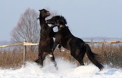 Two black stallion Stock Photo