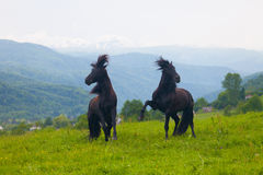 Two black stallions Stock Photo