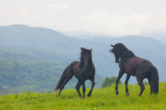 Two black stallions Royalty Free Stock Photography