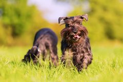 Two schnauzer dogs play on the meadow. Two black Standard Schnauzer dogs play on the meadow Stock Photos