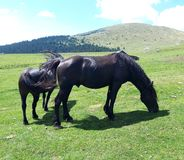 Two black and strong horses with long hair, in the middle of the nature royalty free stock photography