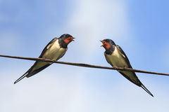Two black swallows sitting on wires on blue sky background Stock Photos