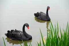 Two black swan. Gliding on lake stock photos