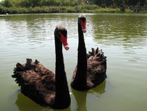 Two black swan Royalty Free Stock Images