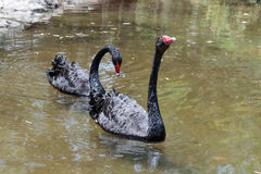 Two black swan swimming is  a sunny day in a pond near the shore Stock Photography