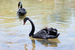 Two black swan  swimming is a sunny day in a pond near the shore Royalty Free Stock Photography