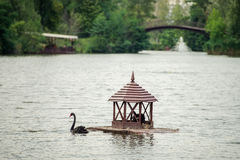 Two black swan on the water Stock Photo