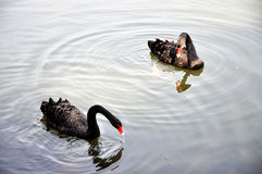 Two black swans Stock Image