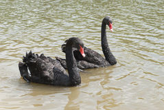 Two black swans. Floating on the water Royalty Free Stock Photos