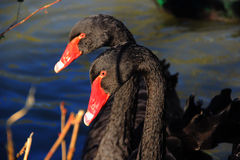 Two black swans close-up Stock Photos