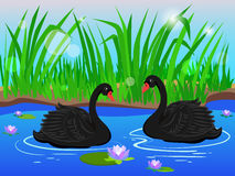 Two black swans. Couple in love. Stock Photography